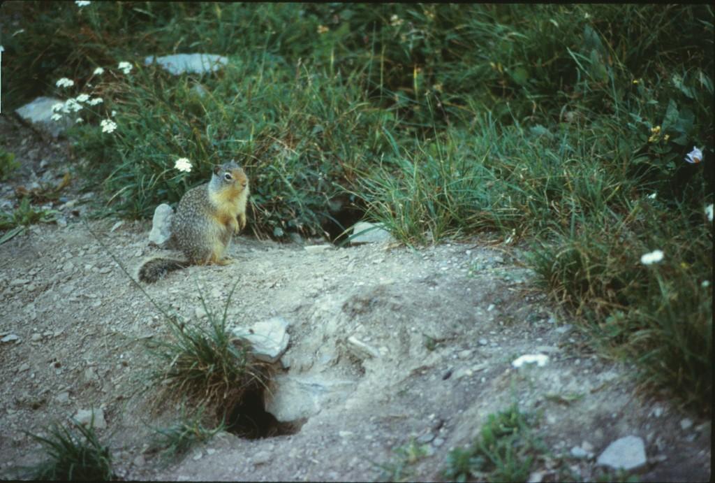 Spermophilus columbianus Columbian Ground Squirrel Glacier National Park