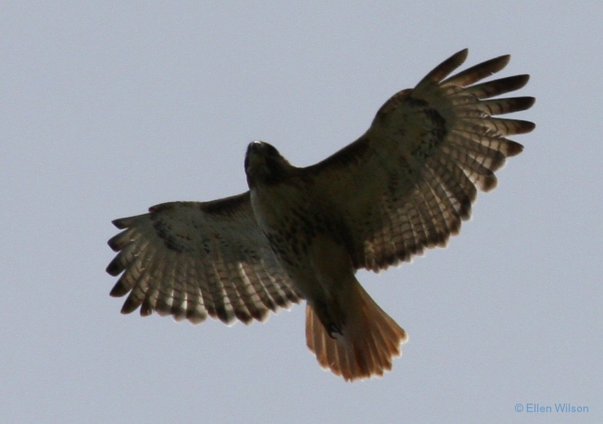 Red-tailed Hawk Buteo jamaicensis soaring 4 copy